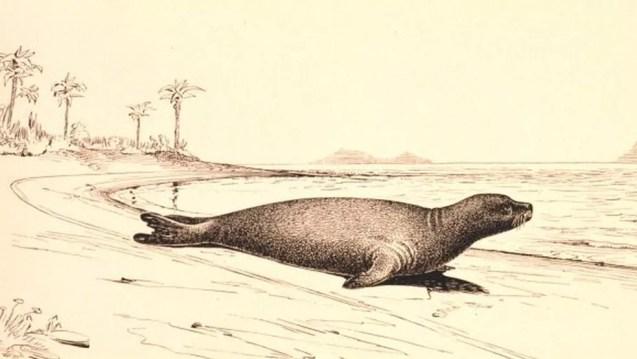 A foca-monge-do-caribe mamífero foi marinho que nadava pelas correntes do Golfo do México foi declarado extinto em 2008 — Foto: NOAA