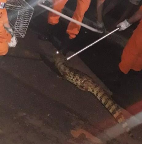 Jacaré é capturado em rua na cidade de Santana do Ipanema, AL — Foto: Ascom/Bombeiros