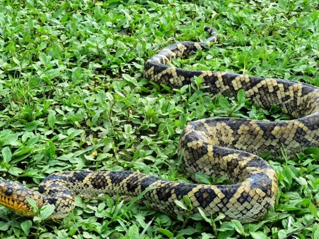 Cobra era procurada há mais de 60 anos por cientistas (FOTO: LÍVIA CORRÊA/ARQUIVO PESSOAL)