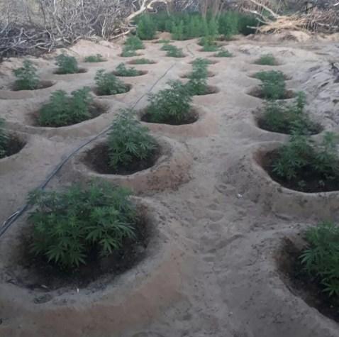 Plantações de maconha na zona rural de Flores (Foto: Polícia Militar/Divulgação)