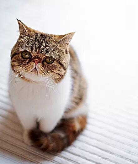 Mascote | A graciosa gata Flor, da raça exótica (Foto: Victor Affaro e Carlos Andres Varela)