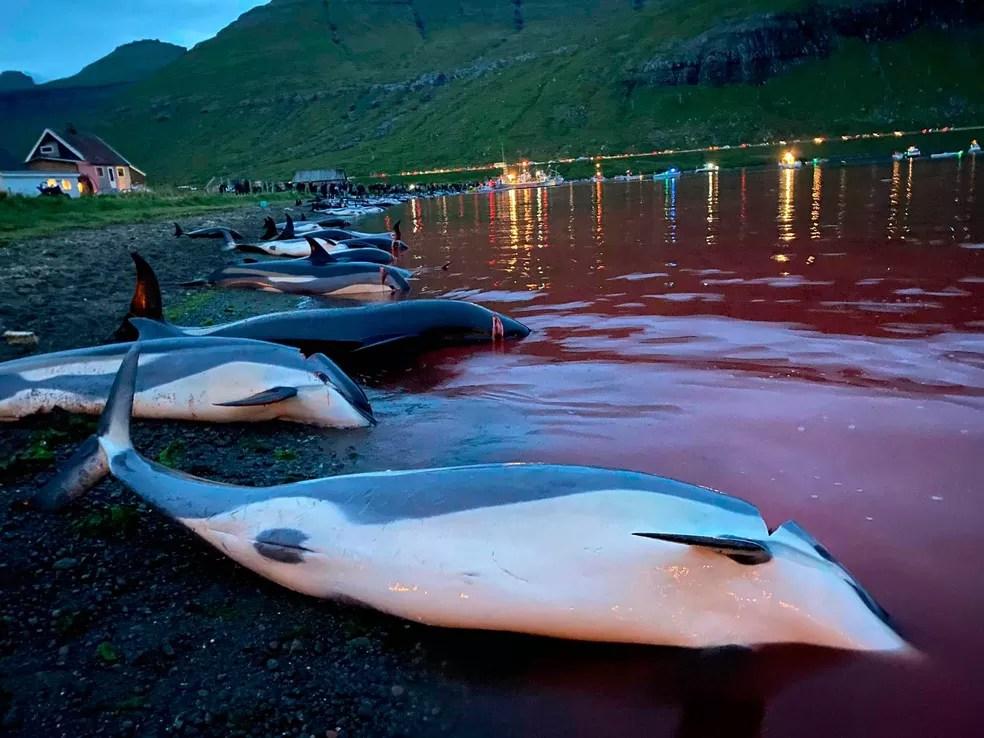 Imagens divulgadas pela Sea Shepherd Conservation Society mostram matança de golfinhos nas Ilhas Faroé, no Atlântico Norte,na Dinamarca. Caçada foi realizada no domingo (12). Ambientalistas dizem que 1.428 animais foram mortos no local, que é um ponto tradicional de caça, pois as águas rasas da enseada são usados para encurralar os animais. — Foto: Sea Shepherd Conservation Society/via AP