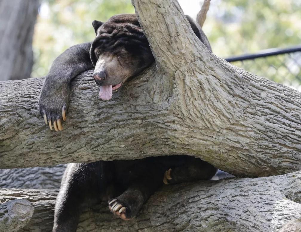 11 de julho - Um urso-do-sol, nativo das florestas tropicais do Sudeste Asiático, dorme em uma árvore no Jardim Zoológico de Henry Doorly em Omaha, Nebraska (Foto: Nati Harnik/AP)