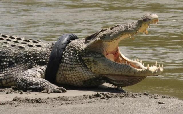Crocodilo foi flagrado com pneu de moto usado em torno de seu pescoço (Foto: Mohamad Hamzah/Antara Foto/Reuters)