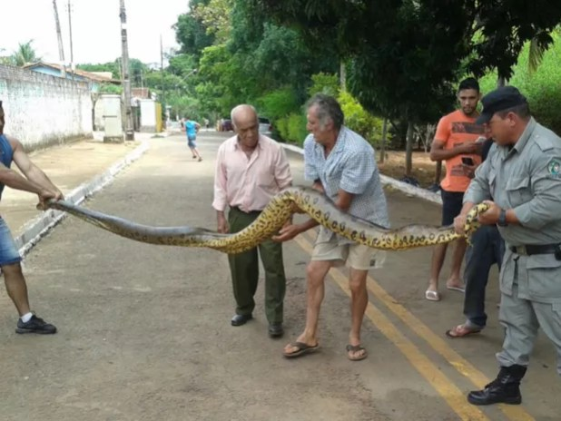 Cobra foi capturada por PMs no distrito de Vila Rica, em Goiânia (Foto: Divulgação/Polícia Militar)