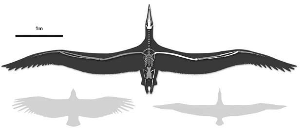 Envergadura de 'Pelagornis sandersi' é vista em comparação com a do condor-da-califórnia (esq.) e albatroz-real (dir.) (Foto:  AP Photo/Bruce Museum, Liz Bradford)