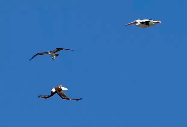 Águia-careca voou de cabeça para baixo para mostrar as garras e 'se exibir' para outras duas aves em Viera, na Flórida (EUA) (Foto: Alex Brandon/AP)