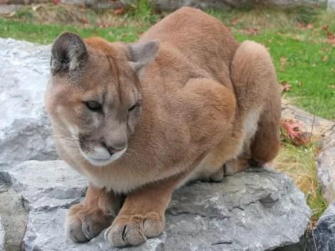 Foto de arquivo mostra puma em zoológico nos Estados Unidos; animal que atacou menino foi abatido  (Foto: Greg Hume/Wikimedia Commons  )