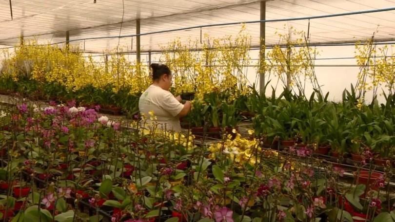 Produtores tiveram que descartas algumas flores por conta da perda na qualidade (Foto: Reprodução/EPTV)