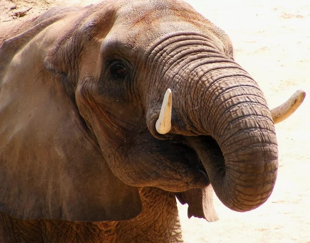 Qual o preço do marfim ilegal?  (Foto: Flickr / Rachel Sample )