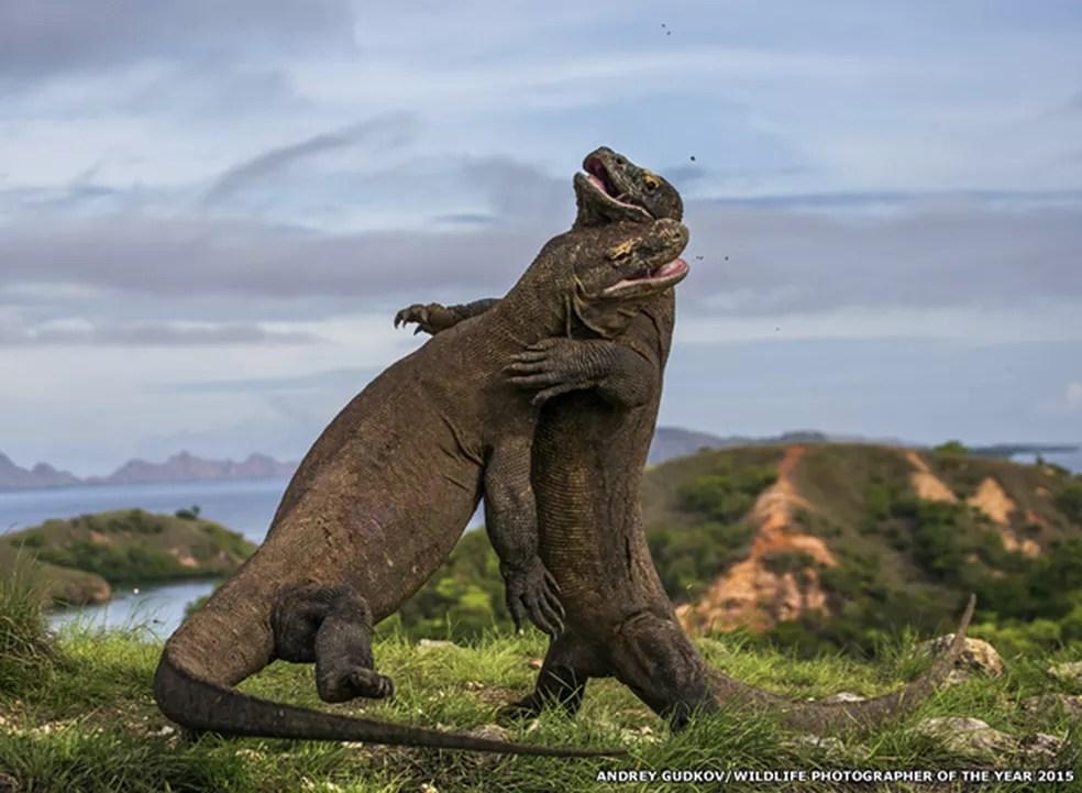 Andrey-Gudkov registrou briga de dragões-de-komodo no Parque Nacional de Komodo, na Indonésia.  — Foto: Andrey-Gudkov/ Wild Photographer of the Year