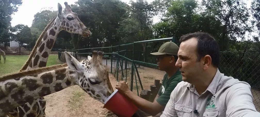Casal de girafas da espécie Rothschild foi trazido a um zoológico particular em Itatiba (Foto: Zooparque de Itatiba/Divulgação)