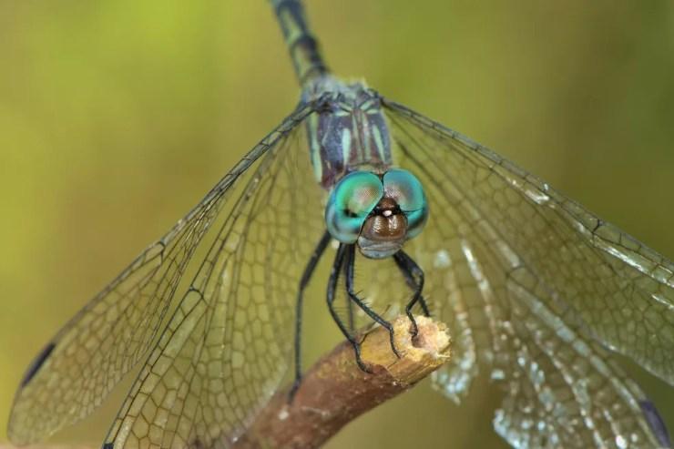 A presença de libélulas indica, geralmente, um ambiente limpo e equilibrado. — Foto: Denis Faria de Moura/ Arquivo Pessoal