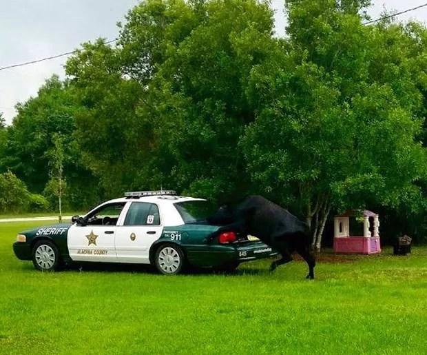 Touro montou sobre o carro da polícia (Foto: Reprodução/Facebook/Alachua County Sheriff's )