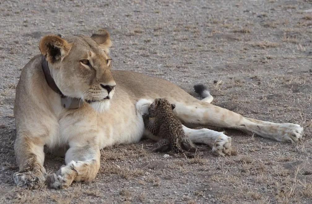 11 de julho - Uma leoa foi vista amamentando um bebê leopardo depois de perder seus filhotes. As imagens foram registradas em uma região selvagem da Tanzânia (Foto: Joop van der Linde/Ndutu Safari Lodge via AP)