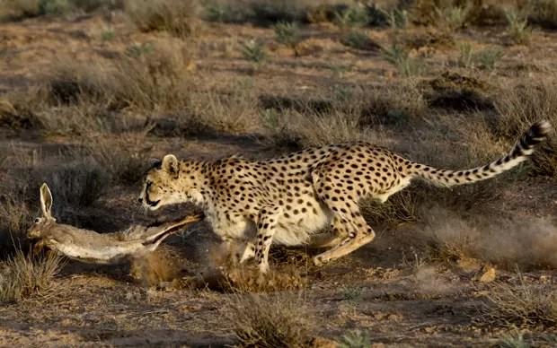 Conhecido por sua velocidade, o guepardo rapidamente alcança o coelho (Foto: Vahid Salemi/AP)