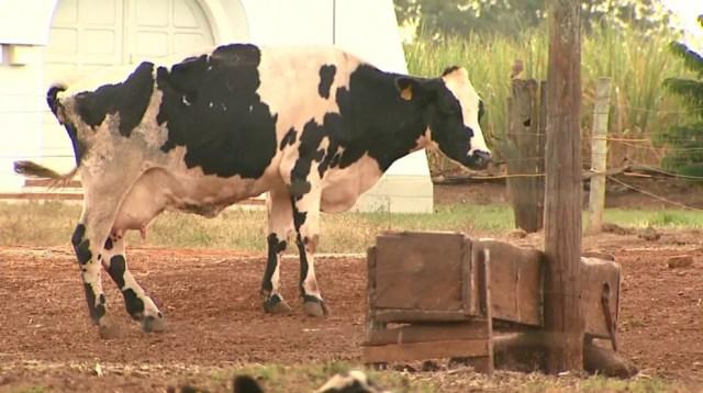 Animal de fazenda com produção de leite em Viradouro (SP) (Foto: Reprodução/EPTV)