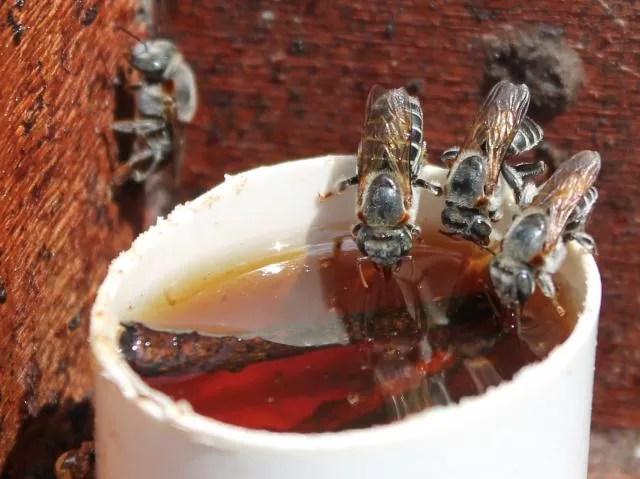 abelha-sem-ferrão (Foto: Divulgação/Embrapa)