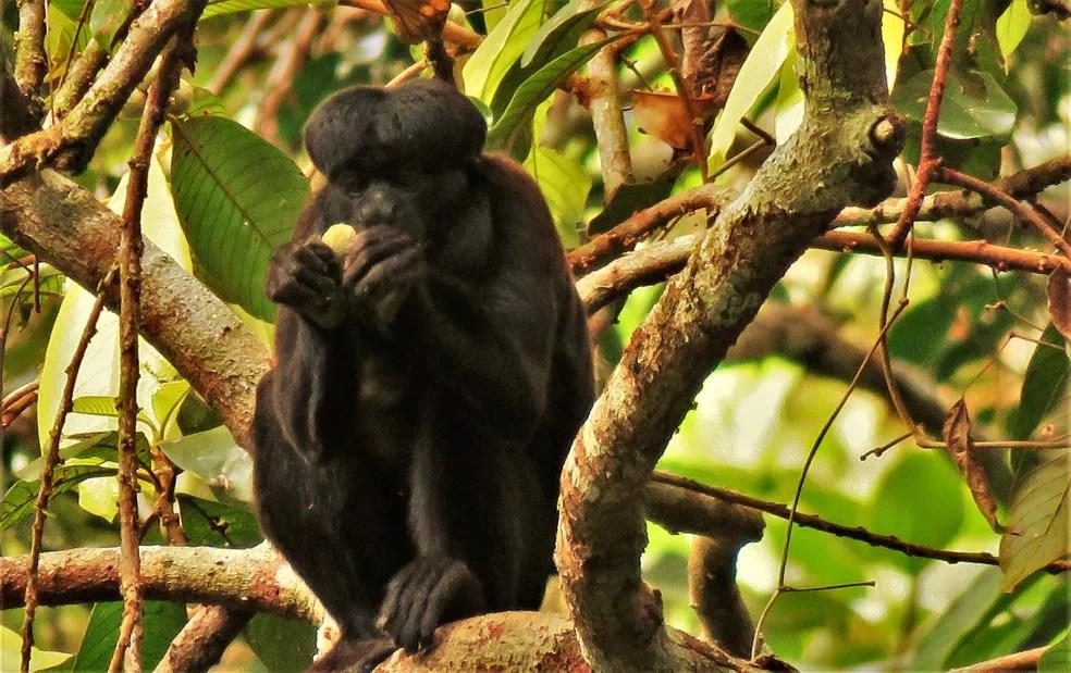Monitoramento de primatas é realizado na floresta Saraca-Taquera, no oeste do Pará — Foto: Renan César