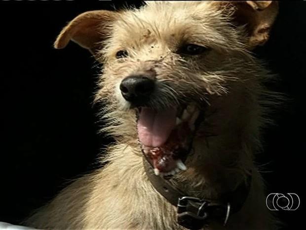 Cadela é encontrada com mandícula quebrada e sem dentes em Anápolis, Goiás (Foto: Reprodução/ TV Anhanguera)