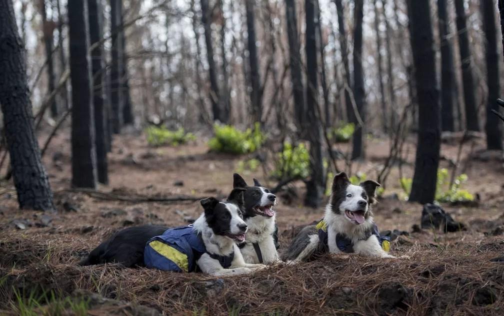 As border collie Olivia, Das e Summer posam com suas mochilas especiais cheias de semente em meio a uma floresta devastada pelo fogo em Talca, no Chile, no dia 23 de junho (Foto: Martin Bernetti/AFP)