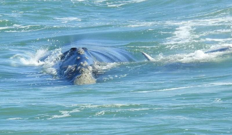 Baleia estava acompanhado do filhote, parte da nadadeira dele aparece no final do corpo da mãe, na quinta na Guarda do Embaú  (Foto: Herverson Santos/Arquivo pessoal)
