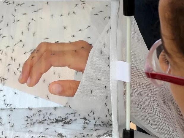 Uma garota coloca a mão em uma caixa com mosquitos Aedes aegypti, responsável pela transmissão da dengue, geneticamente modificados durante uma exposição educacional da empresa britânica de biotecnologia Oxitec em Piracicaba, no interior de São Paulo (Foto: Paulo Whitaker/Reuters)