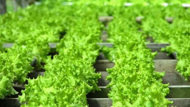 hortifruti-verdura-alface-plantação-horta (Foto: Mateus Dal Bianco/CCommons)