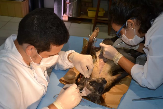 Trabalho de dissecção do mão-pelada. (Foto: Athelson Bittencourt / Arquivo pessoal)