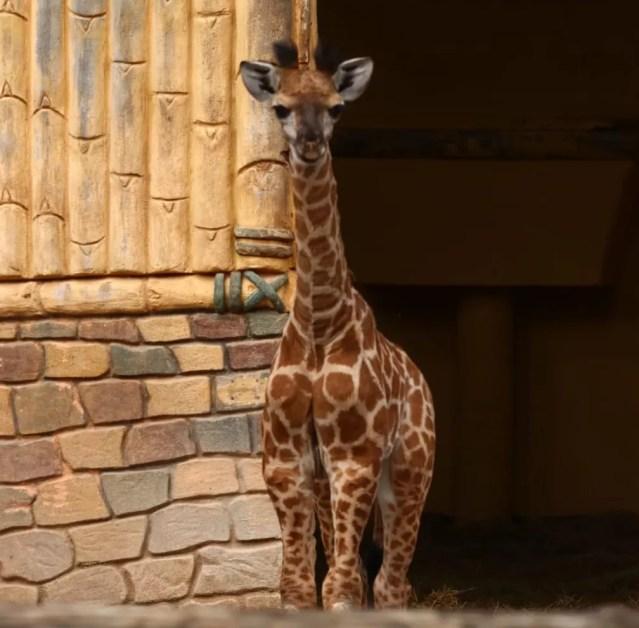 Girafa nasceu com 1,80 metro — Foto: Luiz Souza/NSC TV
