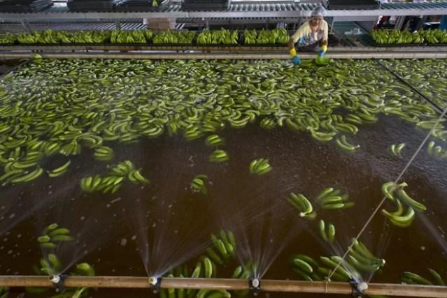 Mulher trabalha com bananas na fazenda da Tropical Nordeste S.A  (Foto: Reuters/Davi Pinheiro)