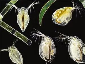 Plâncton encontrado no oceano  (Foto: Divulgação/Universidade Columbia)