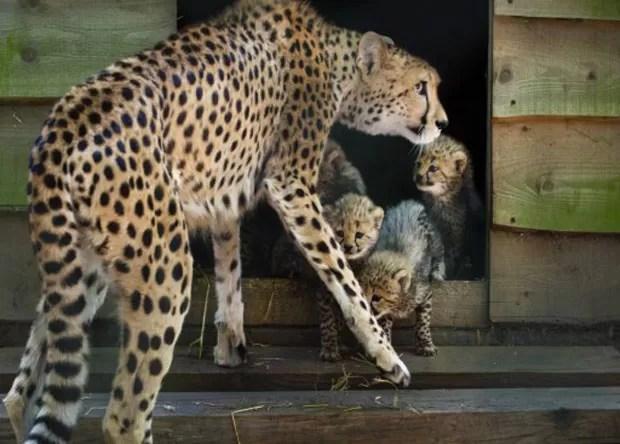 Espécime fêmea de guepardo observa seus filhotes em zoológico da Holanda. Exemplar gerou sêxtuplos, feito considerado raro (Foto: Piroschka Van de Wouw/AFP)
