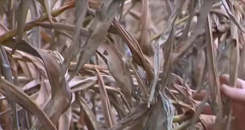 Folhas secas que caem nos rios podem influenciar diretamente em casos de mortandade de peixes no Triângulo e Alto Paranaíba — Foto: Maxwel Costa/ TV Integração