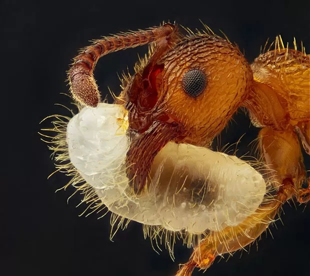 Uma formiga do gênero Myrmica carrega sua larva, refletindo a luz na imagem de Geir Drange, de Askr, Noruega. Com a imagem, Drange conquistou o nono lugar (Foto: Nikon Small World/Geir Drange)