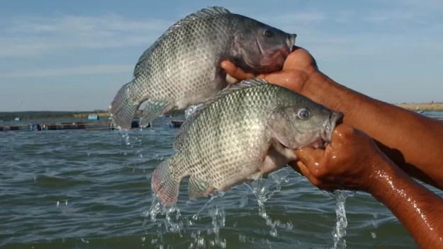 peixe_piscicultura_tilapia (Foto: Ernesto de Souza/Ed. Globo)