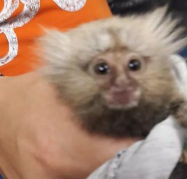 Resultado de imagem para Dupla é detida por tentar vender macaco dentro de caixa de leite
