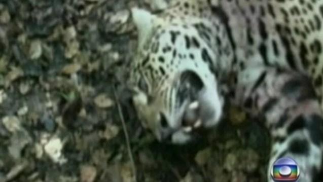Vídeo obtido pela Polícia Federal em 2011 levou a ação na esfera penal contra um safári de caça a onças-pintadas em Mato Grosso do Sul, mas, oito anos depois, processo ainda se arrasta na Justiça — Foto: Reprodução/TV Globo
