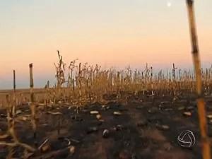 Incêndio destruiu parte da lavoura de milho (Foto: Reprodução/ TVCA)