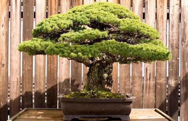 O bonsai de 388 anos, que sobreviveu à bomba de Hiroshima (Foto: Reprodução/National Bonsai Foundation)