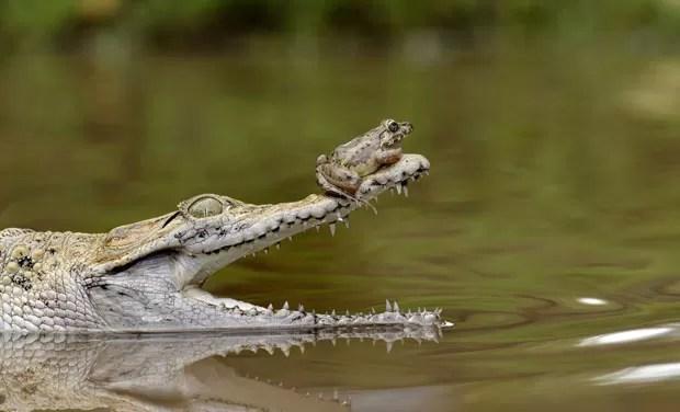 Sapo audacioso descansou sobre o nariz de crocodilo em Jacarta (Foto: Fahmi Bhs/Solnet/The Grosby Group )