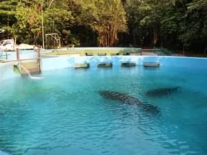 Ao todo, 59 peixes-boi vivem em tratamento no Inpa (Foto: Jamile Alves/G1 AM)