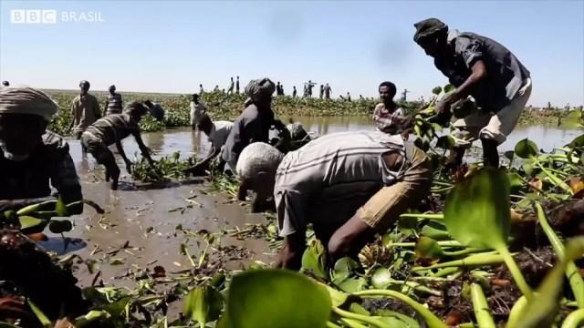 Voluntários trabalham para remover as plantas  (Foto: BBC)