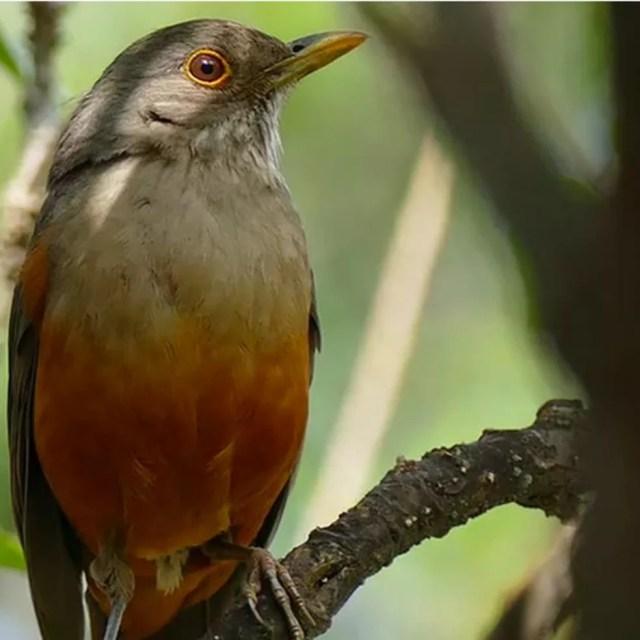 Sabiá-laranjeira é um exemplo de ave silvestre que se adaptou muito bem ao meio urbano no Brasil (Foto: INSTITUTO PASSARINHAR/ DIVULGAÇÃO)