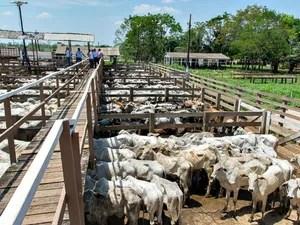 Em Rio Branco, 475 cabeças de gado foram leiloadas  (Foto: Fabrizio Zaqueo/Divulgação)