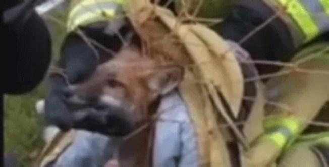 Raposa fica presa em rede de trave de futebol nos EUA (Foto: New Hope Eagle Volunteer Fire Company/Facebook)