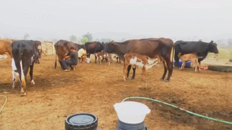 Família aumentou produção de leite durante estiagem em Rondônia — Foto: Rede Amazônica/Reprodução