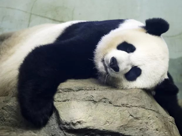 Resultado de imagem para panda dormindo