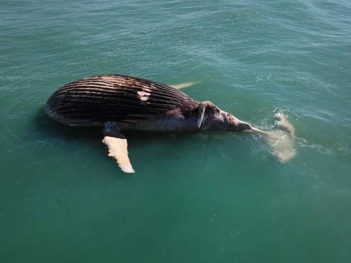 Baleia foi vista boiando no mar antes de encalhar na praia (Foto: Carlos Bittencourt/Arquivo Pessoal)