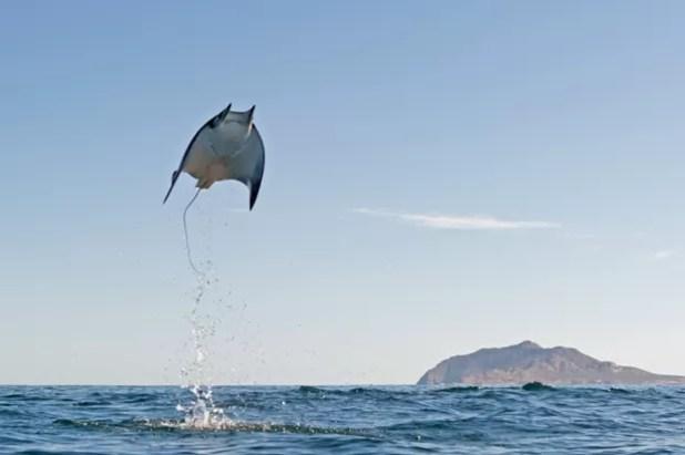 Biólogo fotografou arraias pulando a até 3 metros de altura (Foto: Caters News/The Grosby Group )